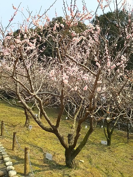 赤塚山公園の梅園