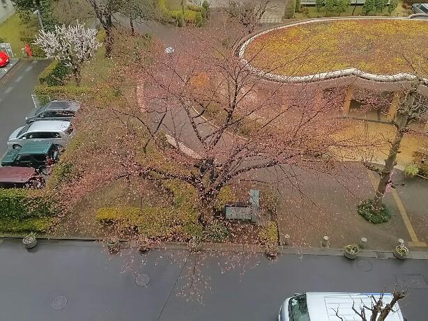 桜まだかな