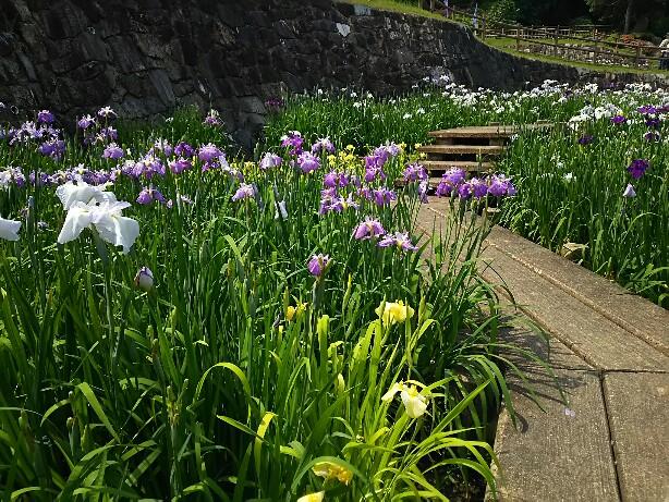 しょうぶ祭り in 赤塚山公園
