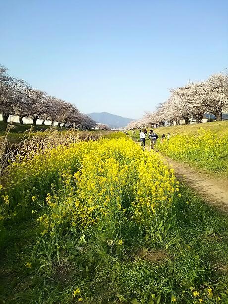 佐奈川の桜